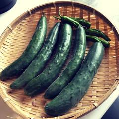 家庭料理/稲城市/東京都/夏野菜/フォロー大歓迎/キッチン/... どんどん出てくるきゅうり達。 ぽっぽいた…