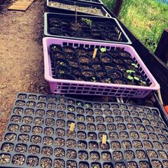 花のある暮らし/ガーデニング/種まき/花苗/フォロー大歓迎/暮らし/... 我が家の育苗。  お花は全部で約40種。…