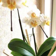 花のある暮らし/花苗/春のフォト投稿キャンペーン ランは空中栽培です。 500円で購入した…
