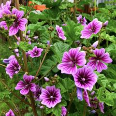 園芸/ガーデニング/花のある暮らし/花苗/種まき/ハーブ/... マロウが続々と開花。 花を取ってマロウテ…