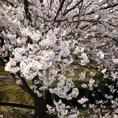 春のフォト投稿キャンペーン/はじめてフォト投稿 桜🌸