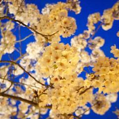 春のフォト投稿キャンペーン/はじめてフォト投稿 夜桜