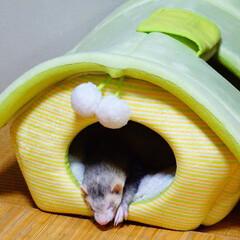 フェレット/おやすみショット フェレットの花  人懐っこい性格で 家の…