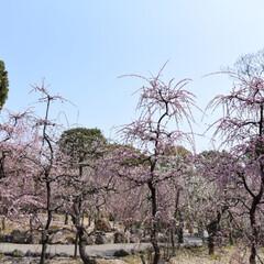 春のフォト投稿キャンペーン/はじめてフォト投稿 梅の花(1枚目)