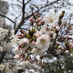 春のフォト投稿キャンペーン/ありがとう平成/令和カウントダウン/春/風景 桜ってずっと見ていられる☺️🌸 大好きな…(1枚目)