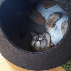 爆睡中/猫部/猫好きさん/猫好き/ネコ/にゃんこ同好会/... 爆睡中…