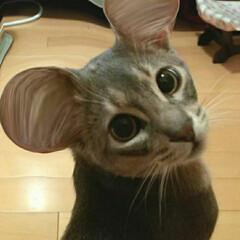 ねこ好き/猫部/ネコ好き/猫好きさん/猫好き集まれ/ネコ/... 耳をちょっと加工して、ミッキー風にしてみ…