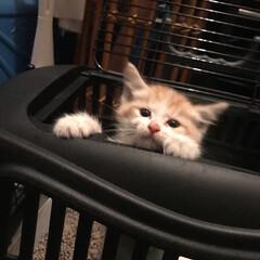 ソウスケ/保護猫/保護/ダイスケ/スコティッシュ/立ち耳スコ/... 小さな命を保護しました!! 我が子になり…