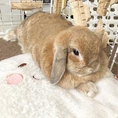小動物/垂れ耳/垂れ耳ウサギ/垂れ耳うさぎ/ロップイヤーラビット/ロップイヤー/... 数日前のるな🐰💕 暑くてもやっぱりクッシ…