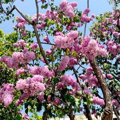 夏日/春/チューリップ/満喫/充実/休日/... こんにちは🌷  先日初めてライラックまつ…(3枚目)