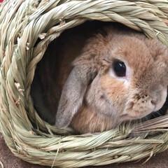 ウサギ/小動物/ペット/動物/ホーランドロップイヤー/ホーランドロップ/... ホーランドロップイヤーの女の子、るなです…