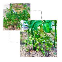 スティックセニョール/ミニトマト/家庭菜園 家庭菜園 その後。 ミニトマトの実がな…