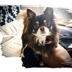 犬のいる暮らし/チワワ 我が家のチワワちゃん、美人なんです。←親…