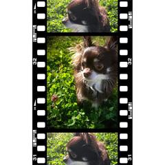 チョコレートタン/犬のいる暮らし/チワワ部/チワワ 緑の中のチワワ❤︎