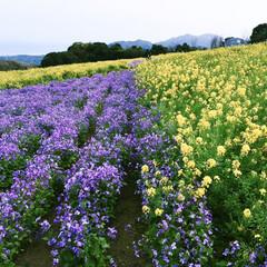 淡路島/春のフォト投稿キャンペーン/GW/おでかけ/風景 お花って見惚れますね🌼