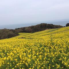 淡路島/春のフォト投稿キャンペーン/GW/おでかけ/風景 菜の花いっぱい💁♀️美しい!