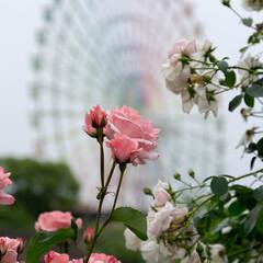朝活/朝時間/ひらかたパーク/遊園地/バラ園/バラ/... 観覧車🎡とバラ🌹(1枚目)