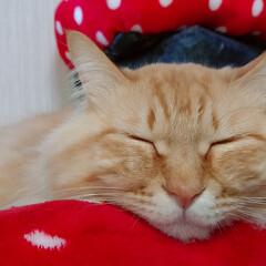猫好き/猫部/猫のいる暮らし/寝顔/むぎたびぼすごま/ネコ/... むぎたびぼすごまの寝顔💤🎠💤