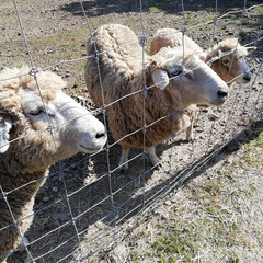 餌をあげられるよ/人懐っこい/可愛い/牧場/みかん/羊/... GWお出かけ記録🎶 三重県にある「ひつじ…