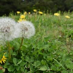 写真好きと繋がりたい/たんぽぽ/春のフォト投稿キャンペーン たんぽぽ