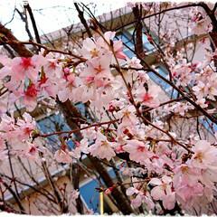 春の訪れ/フォロー大歓迎/春/さくら/おすすめアイテム 職場のヒガンザクラが咲いていました。 新…(1枚目)
