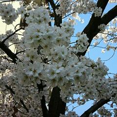 zoomアップ📷/🌸桜 開花/中庭