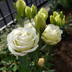 花壇にお花/花 大好きなトルコキキョウ✨