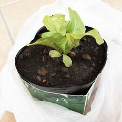 牛乳パック/おすそ分け/サンチュ/家庭菜園/暮らし 今年で三年目の家庭菜園✨ 種から苗へ… …
