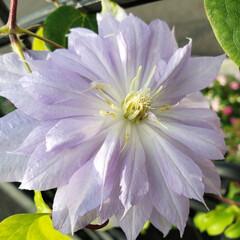 花壇花/花壇/花 紫色のクレマチス咲きました~🎶