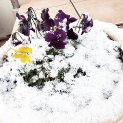 雪/ビオラ/リミアの冬暮らし/暮らし/フォロー大歓迎 とうとう雪降りました😅