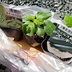 自粛農業/自粛/家庭菜園/暮らし/節約 自粛農業🎵 今日も植えました🙋