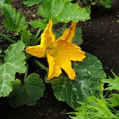 夏野菜/家庭菜園/暮らし ズッキーニの花🎵 いい感じに育ってるみた…