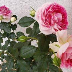 可愛い/癒し/バラ/玄関前/暮らし ようやく咲き始めました~😆