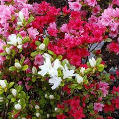 花木/花壇/暮らし 三色ツツジ🎵咲き始めました🙋 二年目とな…