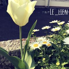 春の花/チューリップ/LIMIAおでかけ部/おでかけ/風景/春の一枚 こちらもビオラの隣に咲いていたチューリッ…