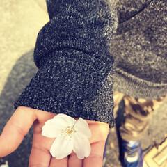 家族でお出かけ/桜/さくら/桜の花びら/LIMIAおでかけ部/フォロー大歓迎/... 四歳の次男は、桜の花びらを拾って楽しんで…