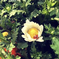 てんとう虫/ノースポール/LIMIAおでかけ部/フォロー大歓迎/おでかけ/風景/... ノースポールのお花の中にてんとう虫がいま…