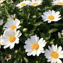 お花/花/ノースポール/LIMIAおでかけ部/おでかけ/風景/... 春ですねー!あちこちでお花が咲き誇ってい…