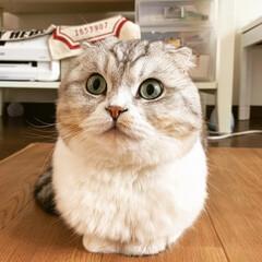 猫多頭飼い/スコティッシュフォールド折れ耳/スコティッシュフォールド/scottishfold/猫/LIMIAペット同好会/... うちの三男マカロンさん。 こう見えてもう…