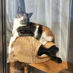 猫多頭飼い/猫ちぐら/にゃんこ同好会/おやすみショット 窓辺の猫ちぐらの上に乗ってくつろぐネネ。…