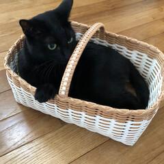 クリーム色の猫/黒猫/猫多頭飼い/にゃんこ同好会/うちの子ベストショット かご好きカイ。  お気に入りのかごに入っ…(4枚目)