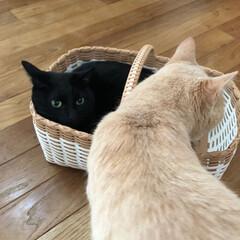 クリーム色の猫/黒猫/猫多頭飼い/にゃんこ同好会/うちの子ベストショット かご好きカイ。  お気に入りのかごに入っ…(3枚目)