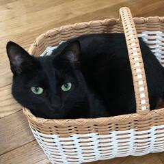クリーム色の猫/黒猫/猫多頭飼い/にゃんこ同好会/うちの子ベストショット かご好きカイ。  お気に入りのかごに入っ…