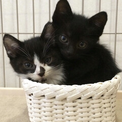 猫多頭飼い/はちわれ猫/黒猫/兄弟猫/にゃんこ同好会/うちの子ベストショット 小さい頃のカイとハチ。  この頃の可愛さ…