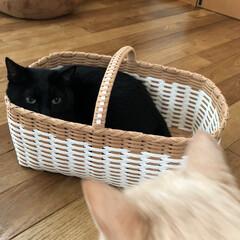 クリーム色の猫/黒猫/猫多頭飼い/にゃんこ同好会/うちの子ベストショット かご好きカイ。  お気に入りのかごに入っ…(2枚目)