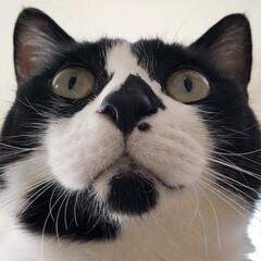 ハチワレ/はちわれ猫/LIMIAペット同好会/にゃんこ同好会/うちの子ベストショット ハチのドアップ!  (1枚目)