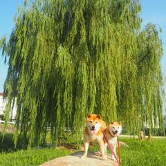 LIMIAペット同好会/わんこ同好会/うちの子ベストショット 主役は愛犬か後ろの木か?  #柴犬(1枚目)