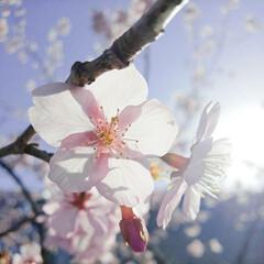spring/SAKURA/ピンク/綺麗/春/はる/...