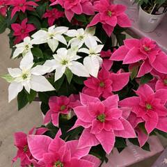 花屋さんの花/花 お花屋さんで綺麗だったから写真撮りました…(3枚目)