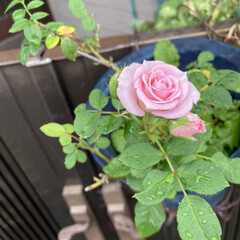 ミニ薔薇 ミニ薔薇🌹です。 綺麗に咲きました🌹(1枚目)